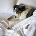 Common Pain Med for Dogs Found Ineffective