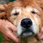 Canine Massage – A Touch Can Change Your Dog's Life