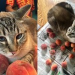 Ozzy the Cat Loves His Peaches
