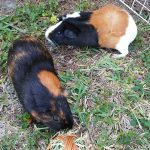 Guinea Pigs 101: Housing and Socializing