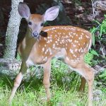 Video captures deer jumping over dog