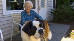 My St Bernard and Elderly Neighbor Have a Special Bond