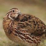 Quail can be kept as pets?