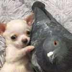 Disabled Pup and Pigeon Are BFs and Go Viral
