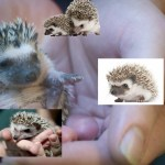 Six Things You Should Know About Hedgehogs Plus Much More