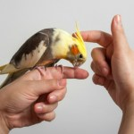 What You Should Know About Cockatiels
