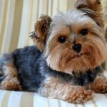 New Method to Potty Train a Yorkshire Terrier