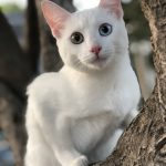 The White Cat of Thailand
