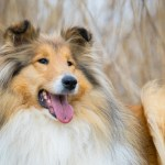 Urban Living: Taking Proper Care of Your Sheltie in Your NY Apartment