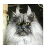 """Juno the """"Angry Cat"""" Has a Face you Cannot Forget"""
