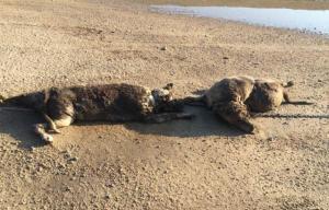 Lucerne Dog deaths