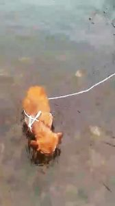 Shivering dog left tied in river cover