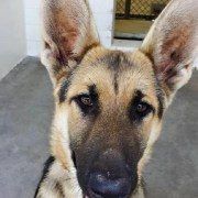 Gorgeous shepherd returned