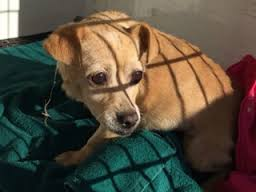 chihuahua-rescued-from-storm-drain-3