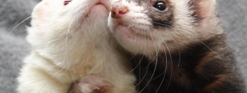 ferret-rescue-cover