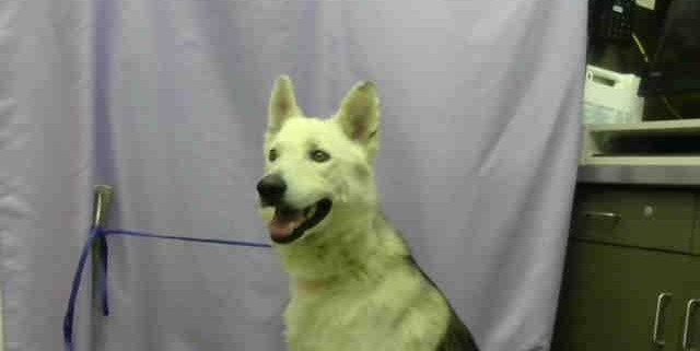 white-husky-at-devore