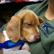 Lefty the Beagle
