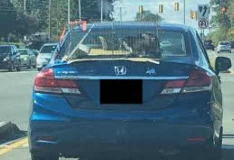 cat-strapped-to-trunk