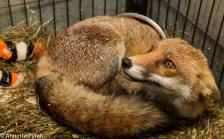 fred-the-fox2