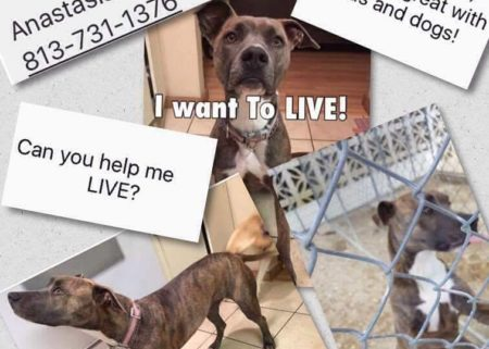 Luna, 2 year old Pit Mix needs a home in Tampa, Florida