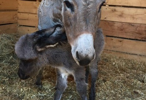 pender-county-animal-shelter-donkey