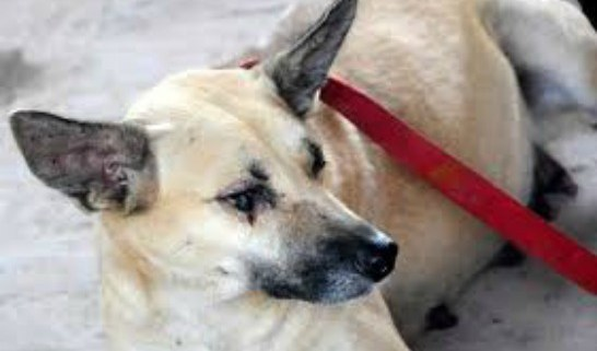 pregnant-dog-blinded