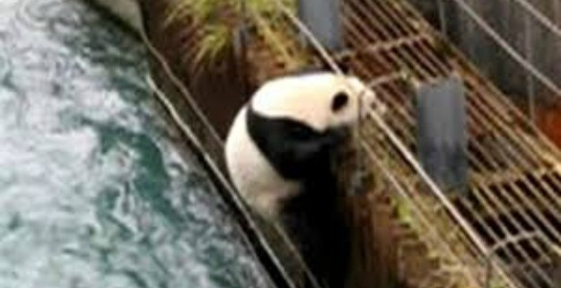 panda-rescued