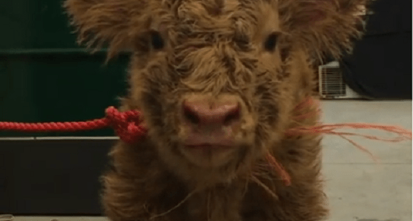 Calf being dried off after a snow storm