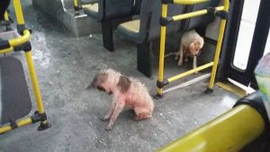 bus driver dogs 3