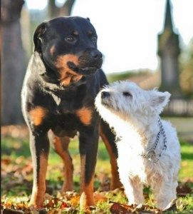 rotti breeds with small dog