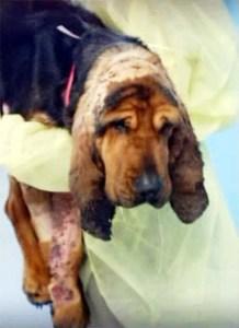 Karma the bloodhound before