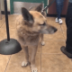 Surrendered shepherd tried to stay with his owner