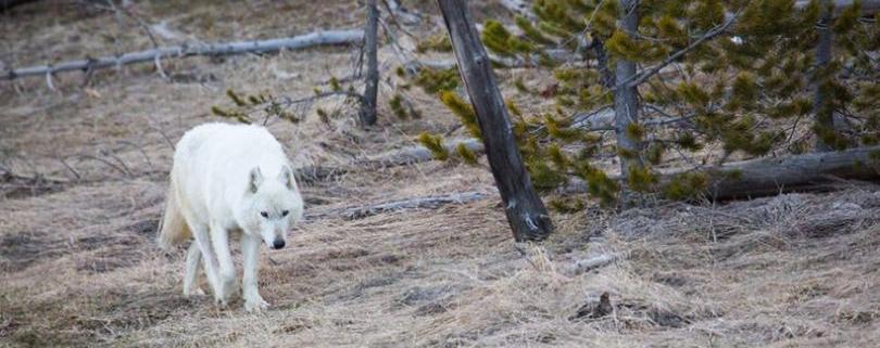 wolf shot in Yellowstone