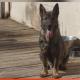 German shepherd stolen, shot and killed