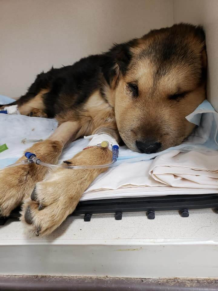Update on puppy Leo discovered with extremely swollen face • Pet Rescue Report