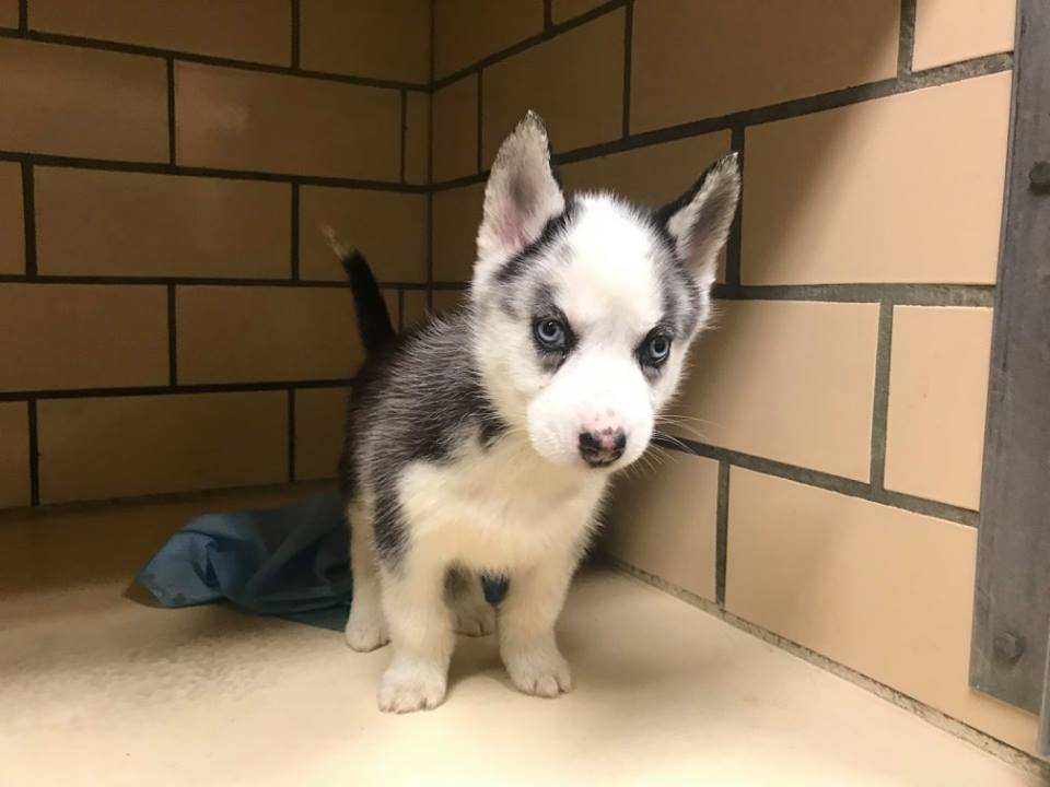 Siberian husky puppy with leg deformities not slowing down • Pet ...