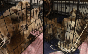 Caged breeder dogs dumped in an alley