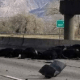 Cattle fell from overpass