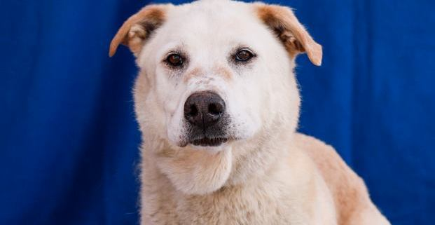 Owners surrendered 13 year old senior dog to busy shelter