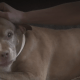 Pit bull saved owner from gas leak