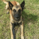 Police K9 euthanized after being injured