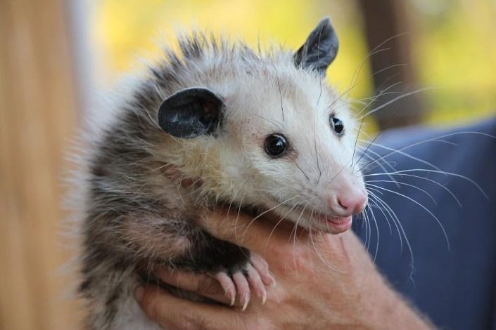 Teens accused of attacking opossum