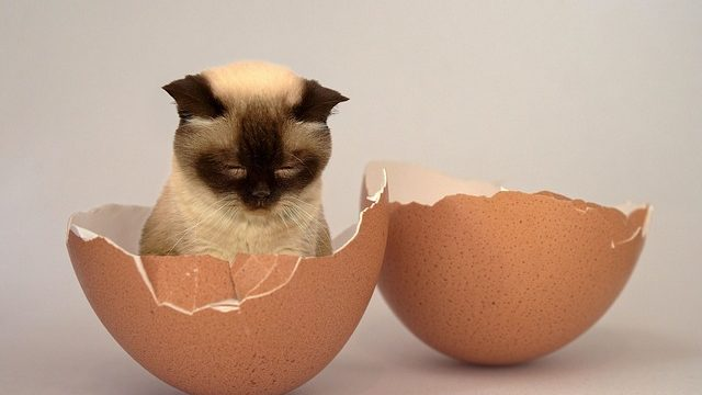 Can Cats Eat Boiled Eggs