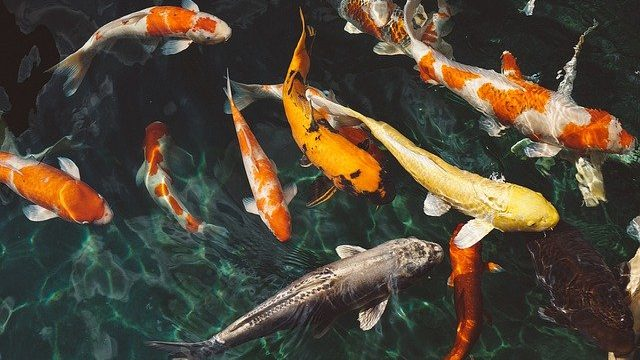 How much do koi fish cost