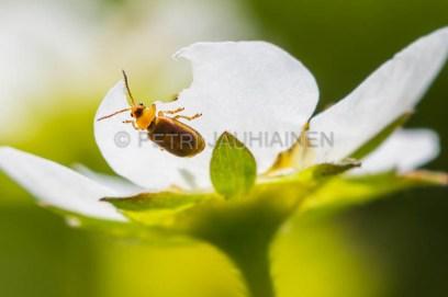 Mansikkanälvikäs mansikan kukalla