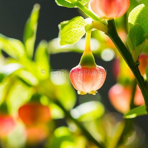 Mustikka kukkii valokuvaaja Petri Jauhiainen