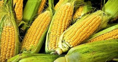 ارتفاع الواردات المصرية من الذرة تتجاوز 148 مليون دولار فى مايو الماضى