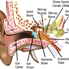 Ear Anatomy Diagram Labeled Hagstrom Ultra Swede Wiring Sense Central | Are You Reading This? Thank Your Senses.