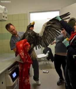 Fot. Ośrodek Rehabilitacji Zwierząt Chronionych w Przemyślu
