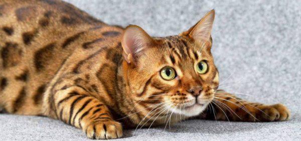 Низкий гематокрит у кота. Лейкопения — снижение уровня лейкоцитов у кошек. Ферменты и их роль в крови у кошки